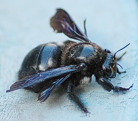 Carpenter Bee Xylocopa Nigrita Large All Black Bees Feed Their Young A Mixture Of Pollen And Nectar In Nest Burrows Either Wood Or