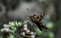 Fluttering on the Brink of Extinction