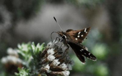 Fluttering on the Brink of Extinction